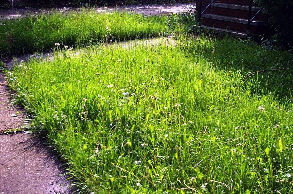 overgrown grass how tall