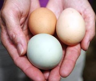 how to raise chickens for eggs in the city