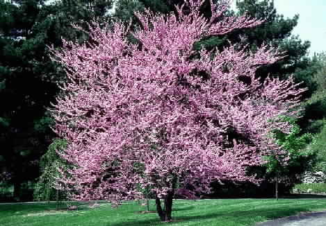 The Eastern Redbud deciduous tree is native to this area