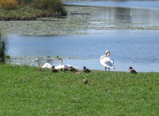 A swan family on Pond Run