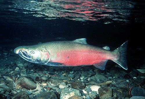 ChinookSalmon-1